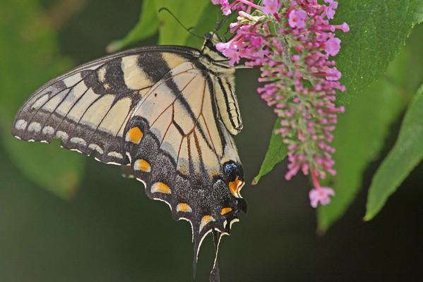 Butterflies- 2010