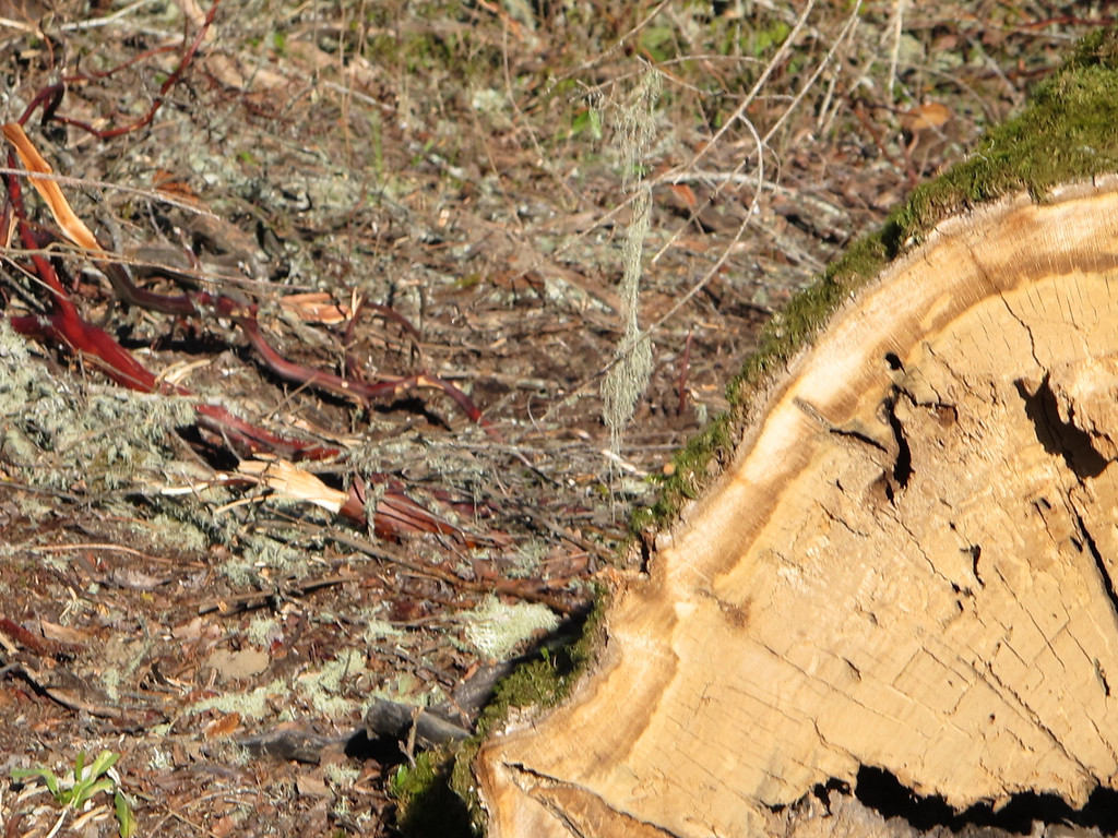 . The stump of tree sitter Eagle tree.