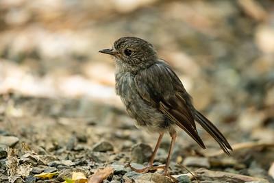 North Island Robin [Petroica longipes]