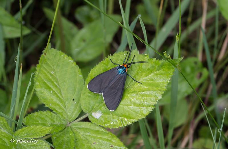 07-05-17. Virginia Ctenucha Moth, Ctenucha virginica.