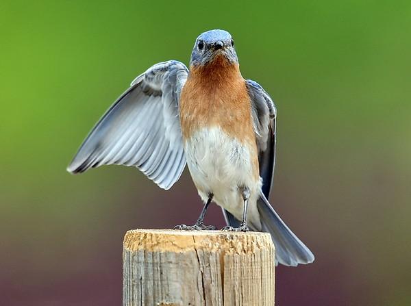 Wing waving