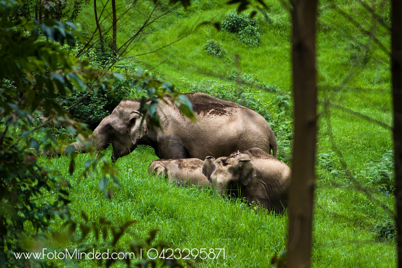 Without their knowledge - shot these elephants at Munnar, India in their natural habitat