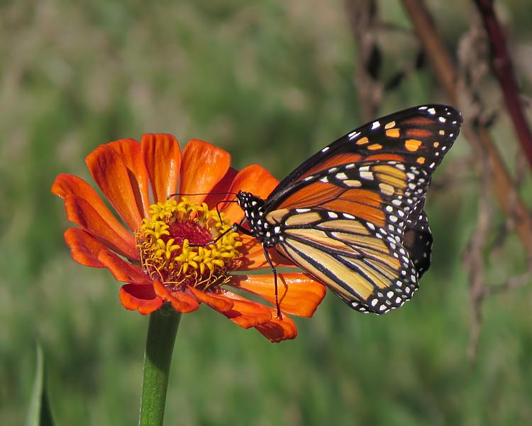 sx50_flora_fauna_monarch_butterflies_zinnia_272.jpg