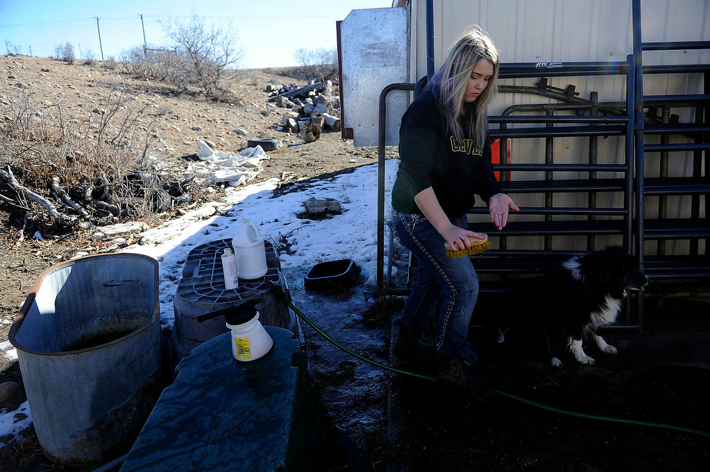 . CASTLE ROCK, CO - JANUARY 17: Rochelle Quinn cleans a brush before using it to clean her cow while prepping the animal for show at her home in Castle Rock, Colorado on January 17, 2014. Quinn will be showing her animals during the National Western Stock Show this weekend in Denver. (Photo by Seth McConnell/The Denver Post)