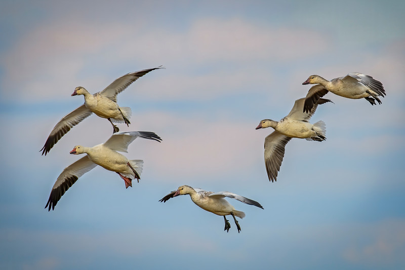 Snow Geese Descent