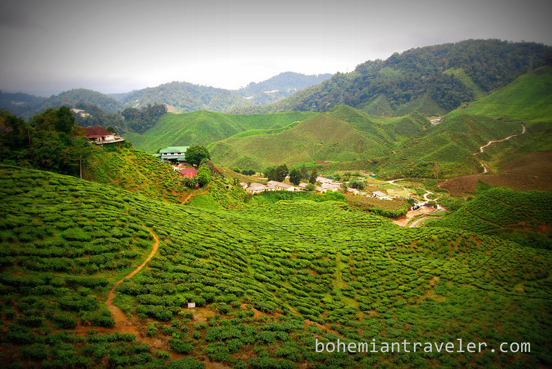 Cameron Valley Tea fields [Bharat] edit.jpg