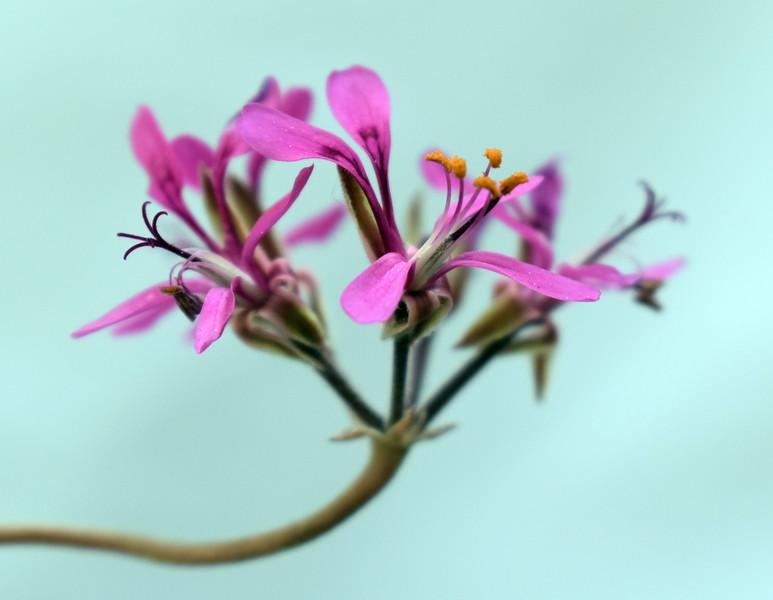 Pelargonium triphyllum 2021-05-13.jpg
