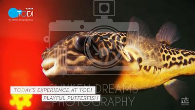 TODI TODAY Fish in Focus - Puffer Fish