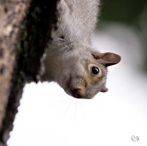Mostly Gray Squirrels II