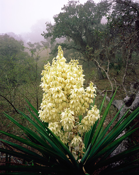 Tamaulipas, Sierra Tamaulipas, Mexico / Flowering Yucca, Yucca carnerosana, before fog-shrodded oak, Quercus sp., draped with Spanish moss, Tillandsia usneoides.  204V4