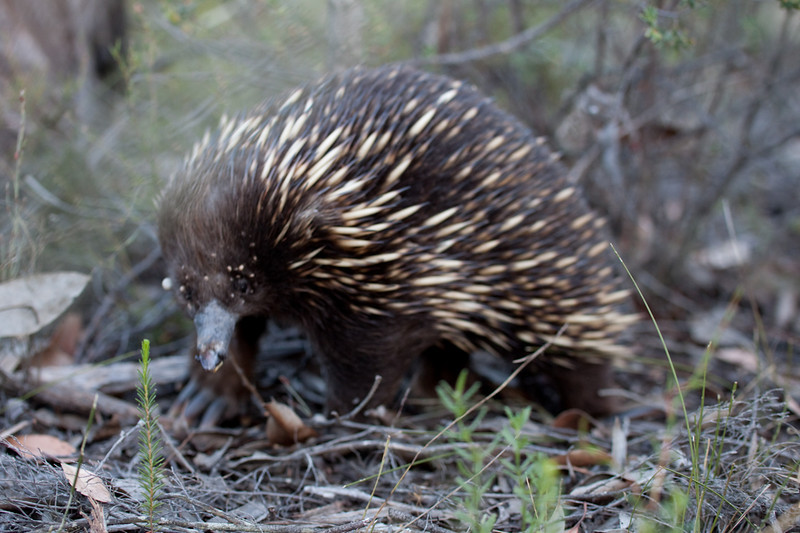 This echidna was a bit worse for wear.