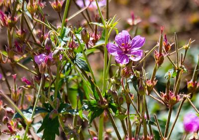 Pineywoods Geranium