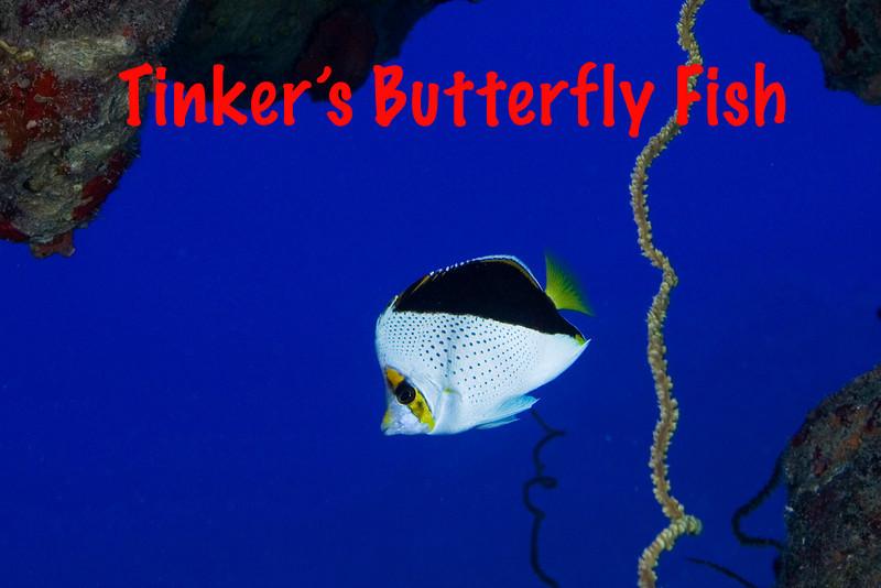 Tinker's Butterfly 1.jpg