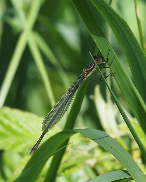 Northern Spreadwing, female