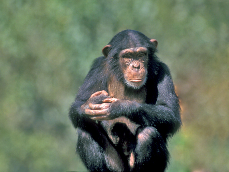 30  שימפנז.jpg
