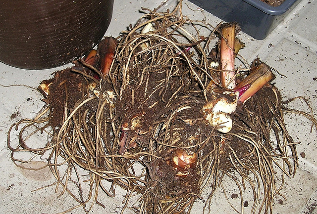 Digging up Canna Bulbs for Winter - In the Midwest we find ourselves digging up canna bulbs to store for winter. If we chose not to; we will lose our plant and have to purchase new bulbs the following spring. Some gardeners prefer to purchase yearly. Others, including myself, will lift our bulbs and reuse them.
