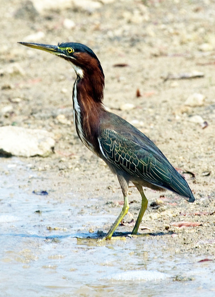 Green heron in Houston's Meyerland Basin