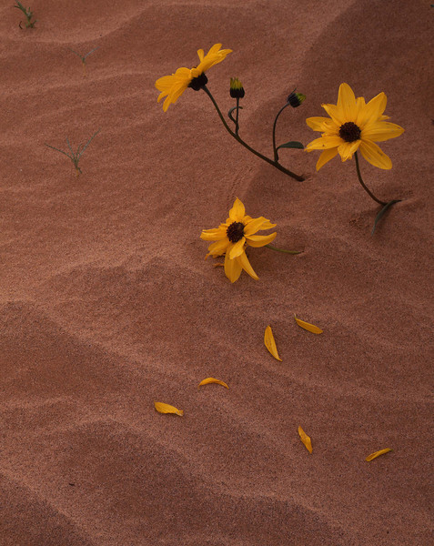 Biosphere Reserve of the, MEX/Pinacate & Gran Desierto Altar, Sand Sunflowers (Heliantus niveus) after El Nino storm buried them in the sand. 298V6