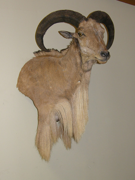 Wall Pedestal Shoulder Mount - Aoudad Sheep also known as a Barbary Sheep  Anderson Taxidermy & Guide Service, Inc.  www.THEHUNTPRO.com