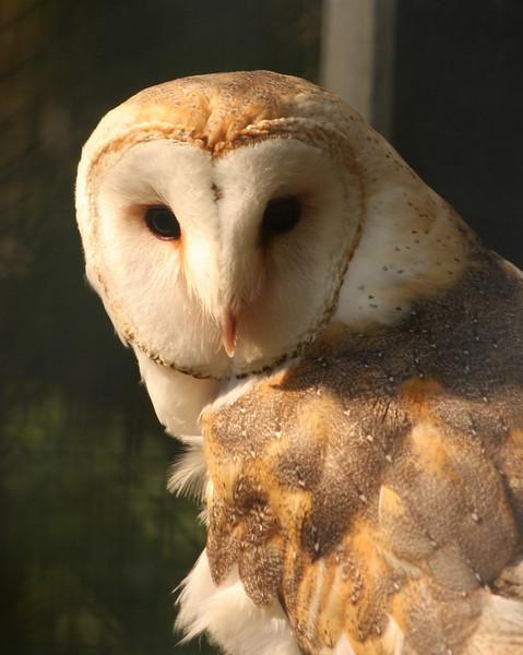 2009 - The Barn Owl