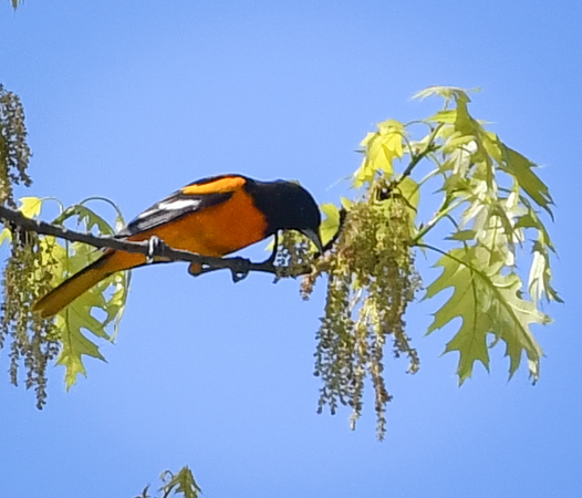 Baltimore Oriole with leaves