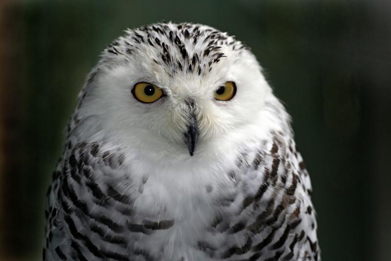 Snowy Owl  Quechee, VT