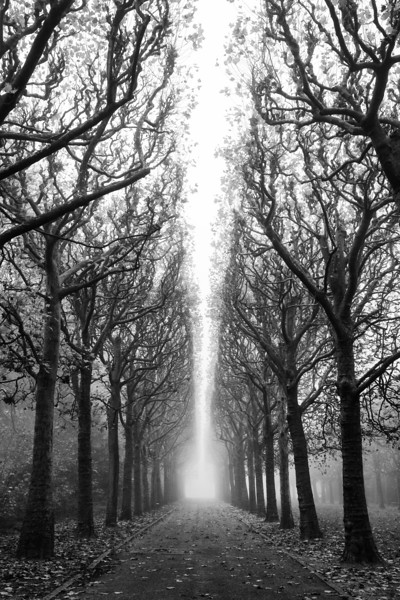 Tree Allée in Fog 2