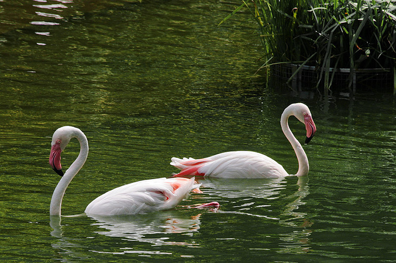 Kowloon Park, Flamingo