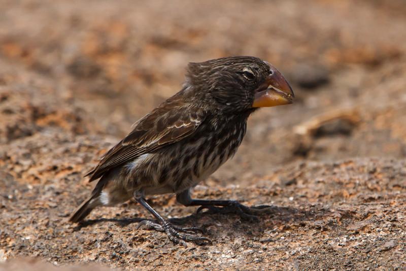 Large Ground-Finch male at Prince Phillip's Steps, Genovesa, Galapagos, Ecuador (11-25-2011).jpg