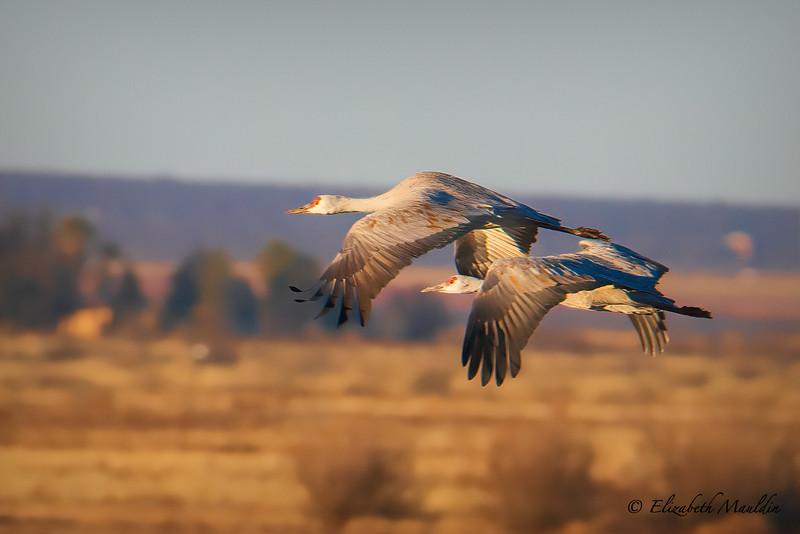 Mauldin-Sand Hill Cranes