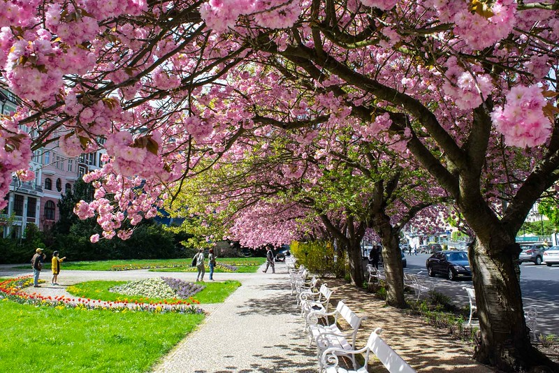 Sidewalk covered with blooming pink trees