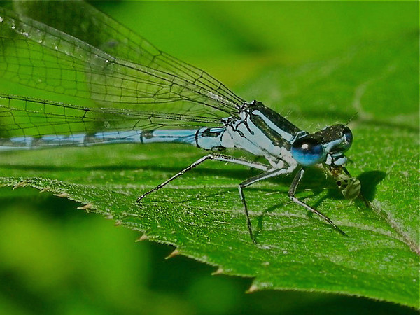 Damselfly with fly in mouth, UK