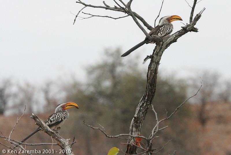 southern yellow-billed hornbills