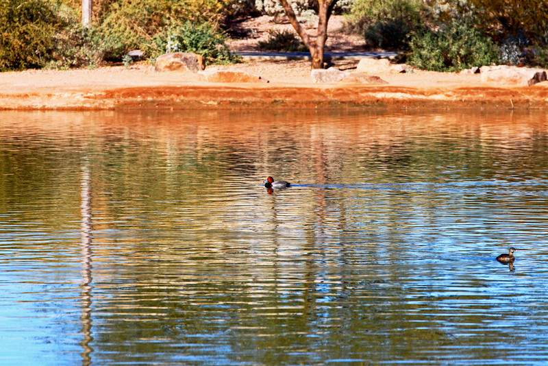 Redhead & Pied-billed Grebe, Veterans Oasis Park, Chandler, AZ.