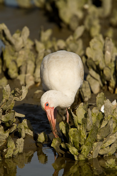 White ibis foraging