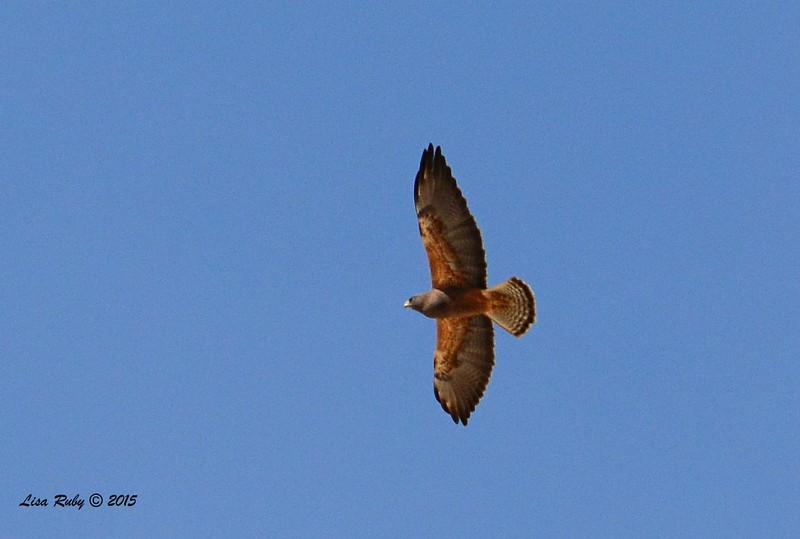 Swainson's Hawk - 3/15/2015 - Borrego Springs, Henderson Canyon Rd