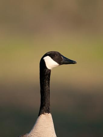 Canada Goose (<em>Branta canadensis</em>)