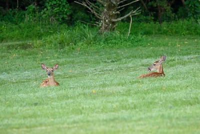 07/30/21 Deer