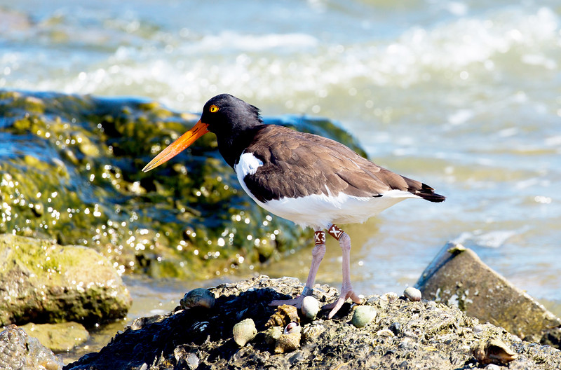 Another Oyster Catcher (this one double banded) on the rip-rap