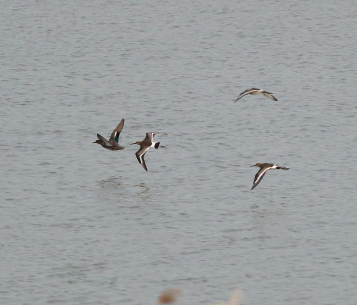 Mystery birds   Netherlands 2014 06 26-3.JPG
