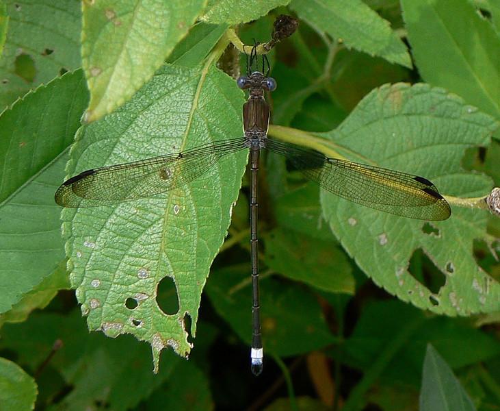 P102GreatSpreadwing391 Aug. 8, 2007  9:55 a.m.    P1020391 Great Spreadwing, Archilestes grandis  male  at 2601.  Lestid.