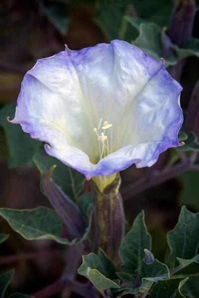 Jimson Weed Flower