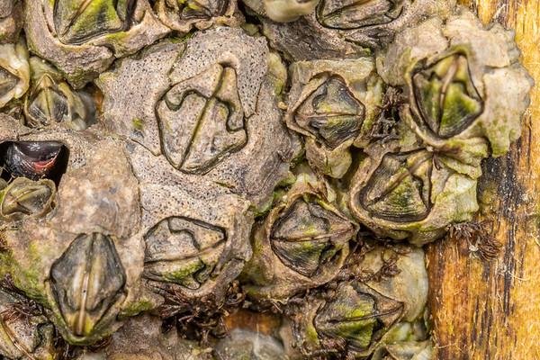 Austrominius modestus - Beaked barnacle