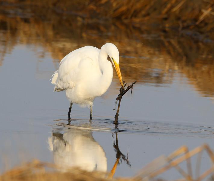 great white egret stick.jpg