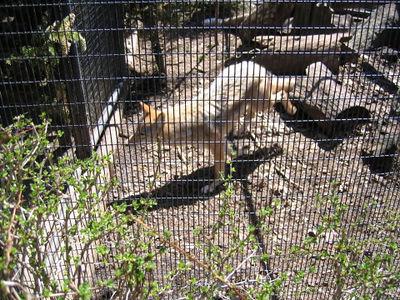 Bear Mountain Zoo coyote