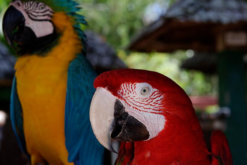 Parrot Mates- Sarasota Jungle Gardens - Sarasota Florida