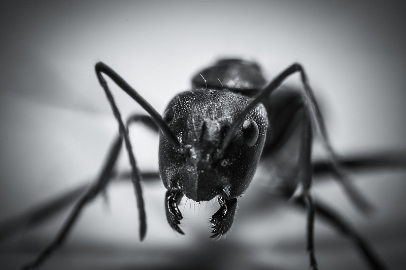 Angry Ant