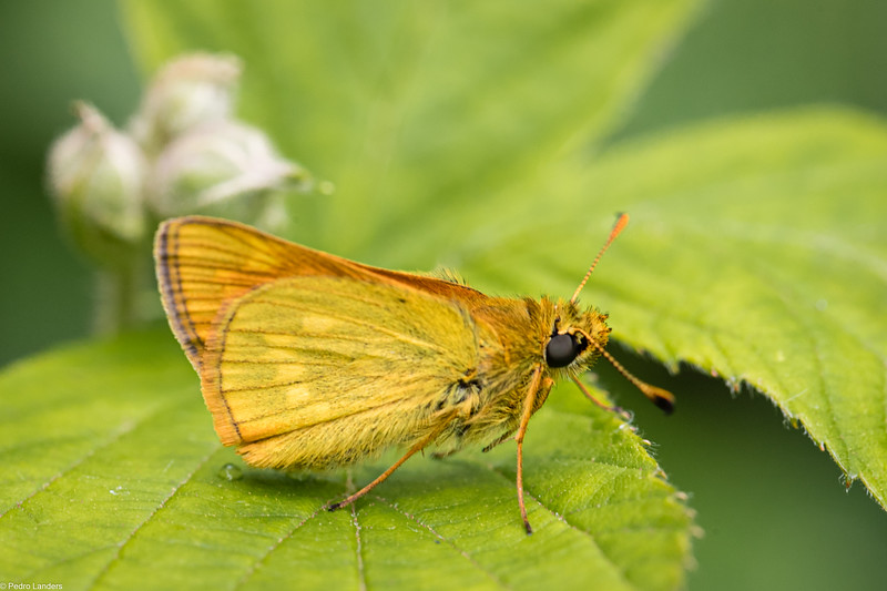 Large Skipper - Underwing
