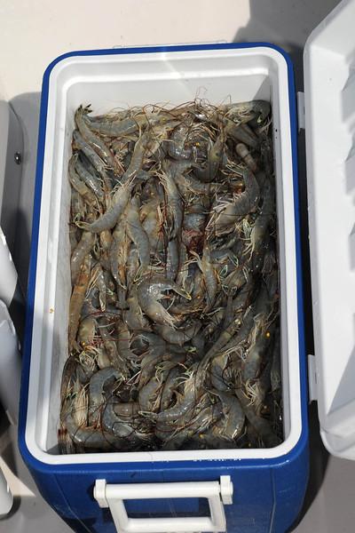 Cooler Full of Bulls Bay Shrimp.jpg