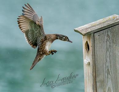 Wood duck nest box images